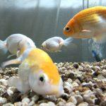 2系統のろ過+エアレーションで、過密飼育対策。金魚水槽