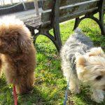 犬のバベシア症はダニが媒介する怖い病気。その症状と予防法。