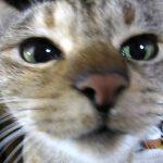元保護猫キジトラのマリちゃんは写真嫌いなのでいつも怪訝な顔。