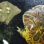 ベルツノガエルの寿命はどれくらい?人工餌OKで、飼育しやすい。