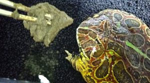ベルツノガエル給餌画像