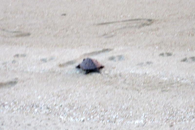 クサガメ 砂浜にて