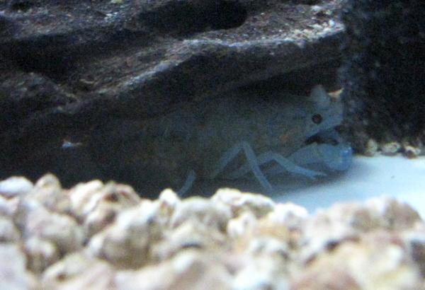抱卵し、流木下に隠れるミステリーザリガニ