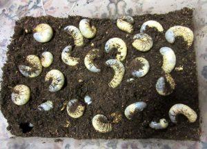 カブトムシ幼虫過密