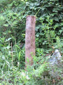 アボカドの木