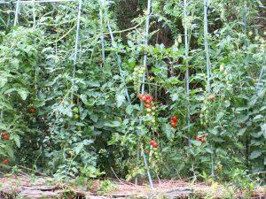 家庭菜園ミニトマト苗が育ってきました