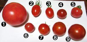 ミニトマト品種別