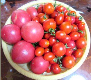 ある日の収穫、トマト、ミニトマト