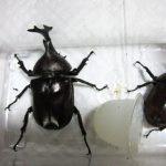野生のカブトムシは小さくなってきている? 実写、比較画像あり!