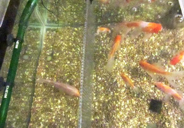 金魚、隔離板で分ける