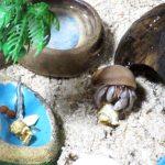 オカヤドカリはポップコーンが好き!活動的な夏がやってきたよ!