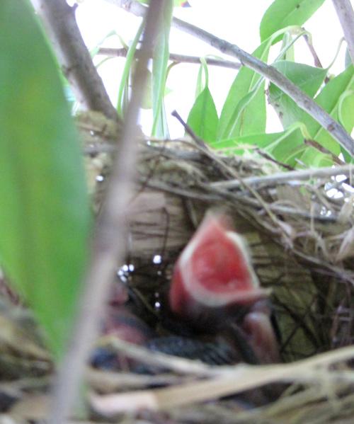 鳥の雛、元気!
