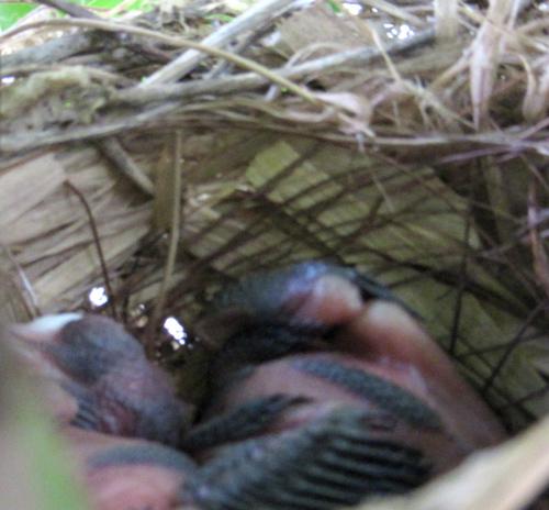 鳥の巣の雛が孵ったよ!