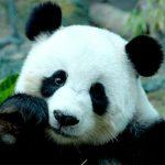パンダ赤ちゃん公開スタート!和歌山・白浜アドベンチャーワールドのアクセス・料金・みどころなど