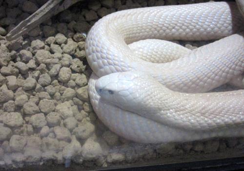 イズーの白蛇さん