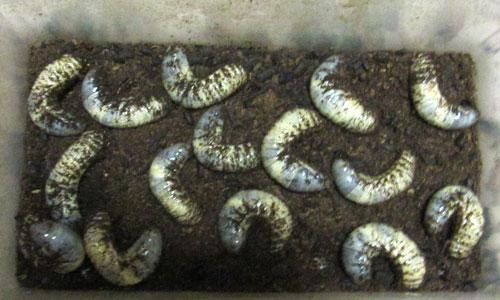 カブトムシ幼虫引き取り01