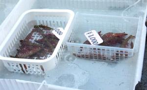 雑賀崎漁協 鮮魚直売 アシアカエビ