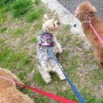 犬用 ハーネス、ハキハナを使ってみました。おすすめの理由と体験談
